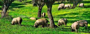 cerdo-ibrico-bellota-en-dehesa-corkup