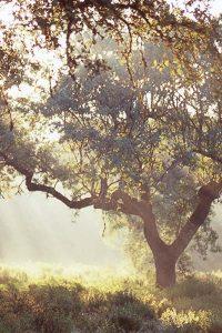 arbre-chene-liege